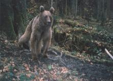 camera trap bear 2