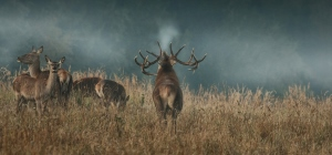 red_deer